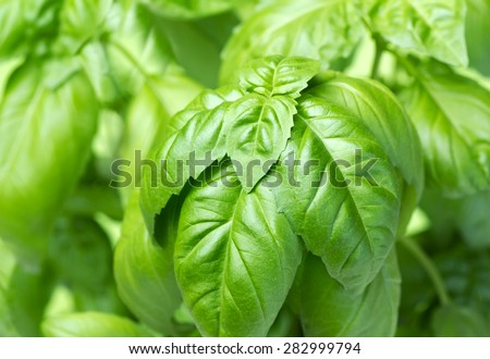 fresh green basil - stock photo