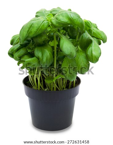 Fresh green basil in a black pot isolated on a white background