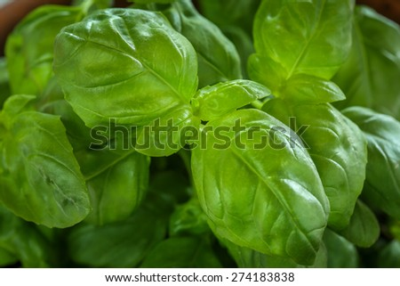 Fresh green basil in a clay pot - stock photo