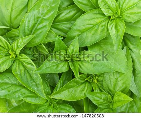 Fresh green basil leaves closeup - stock photo