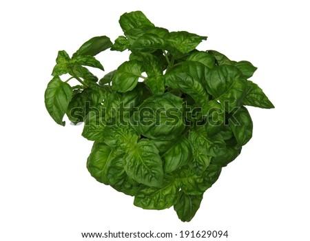 Fresh green basil plant on white background - stock photo