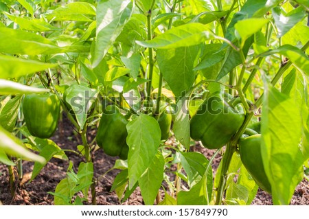 Fresh Green Bell Pepper Plant - stock photo
