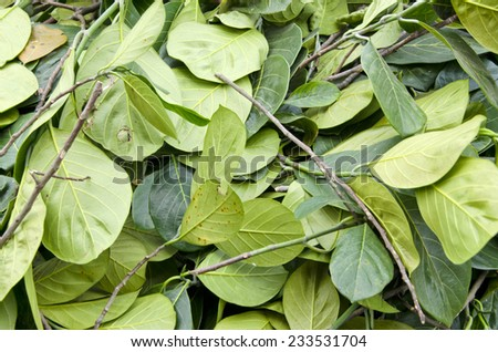 fresh green betel leaves in  asia market background, India - stock photo