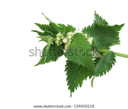 Fresh green blossoming nettle isolated on white - stock photo