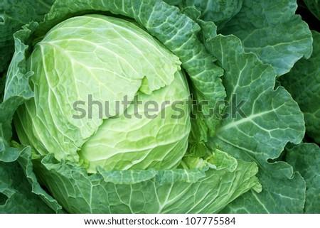 fresh green cabbage - stock photo
