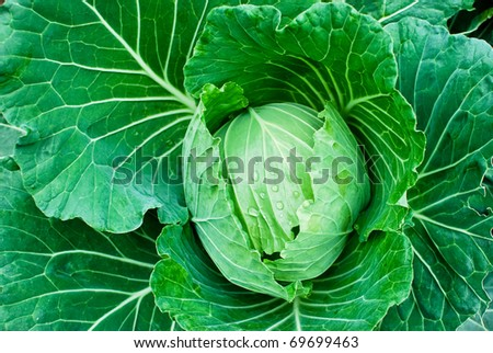 fresh green cabbage closeup details as a background