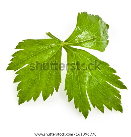 Fresh green celery herb isolated on white background  - stock photo
