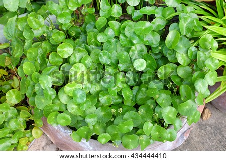 fresh green Centella asiatica plants with water drop on leaf