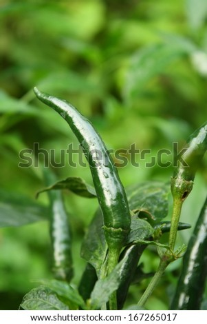 fresh green chilli on tree