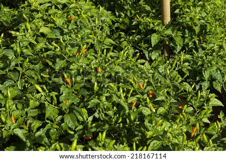 fresh green chilli on tree - stock photo
