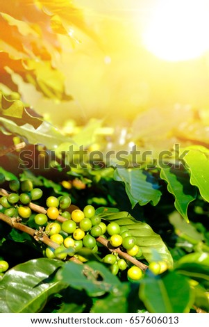 Fresh green coffee beans from the beginning on sunlight