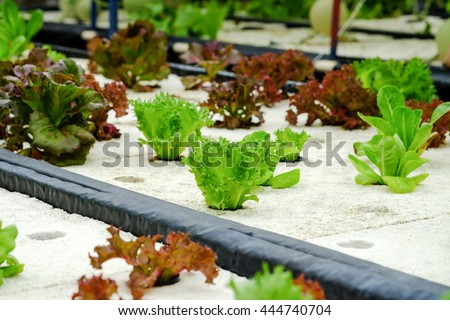 Fresh green cos and red oak vegetables growing by hydroponic water system for modern farming background  - stock photo