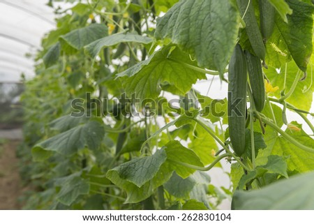 Fresh Green Cucumber Trees in Glasshouse - stock photo