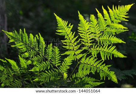 Fresh green fern leaves in eveninglight - stock photo