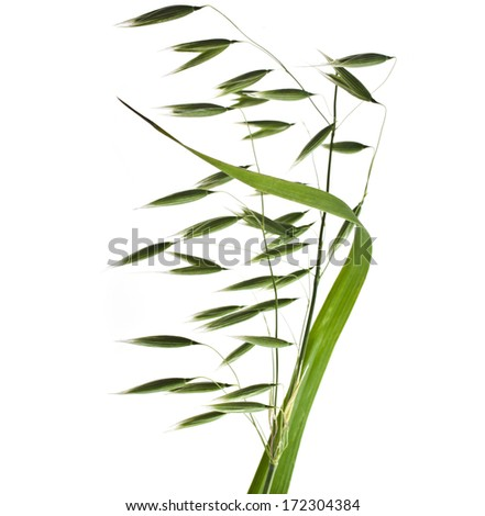 fresh green field oat close up isolated on white background  - stock photo