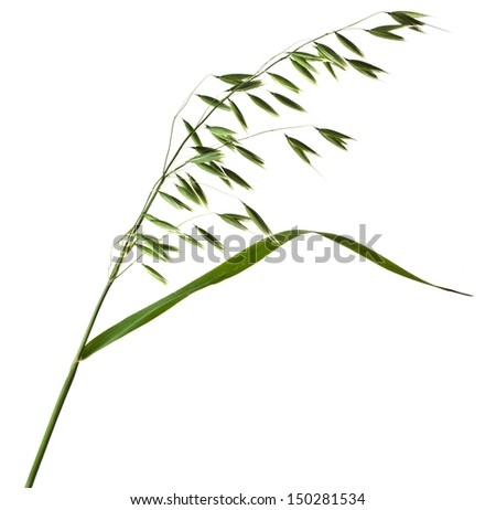 fresh green field oat closeup isolated on white background - stock photo