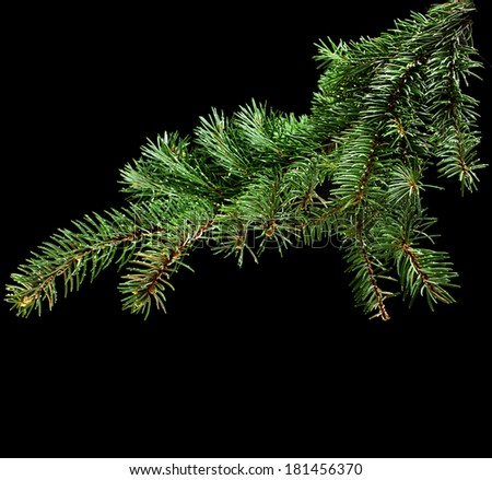 Fresh green fir branch close up isolated on black background - stock photo