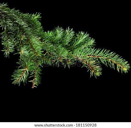 Fresh green fir branch close up with copy space isolated on black background - stock photo