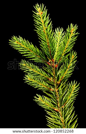 Fresh green fir branch isolated on black background - stock photo