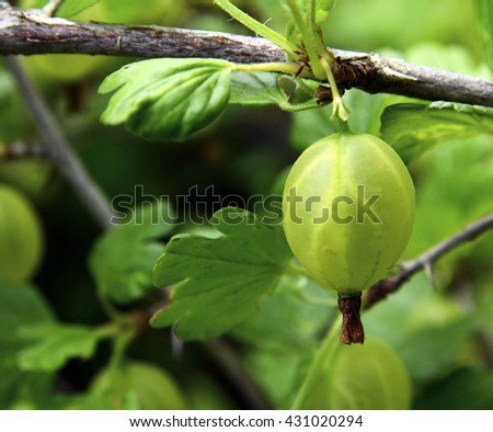 Fresh green gooseberrie on a branch of gooseberry bush close up.Selective focus. - stock photo