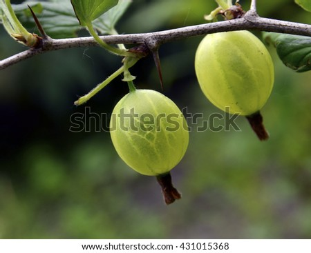 Fresh green gooseberries on a branch of gooseberry bush close up.Selective focus. - stock photo