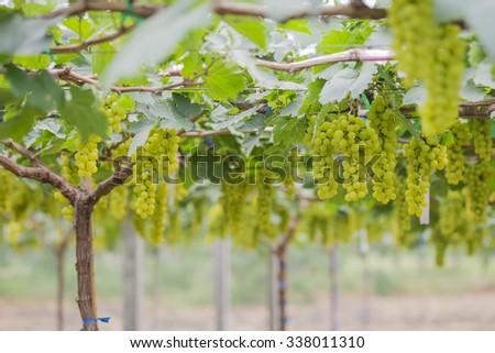 Fresh green grapes on vineyard Tak ,Thailand. - stock photo