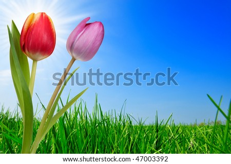 fresh green grass and beautiful tulips