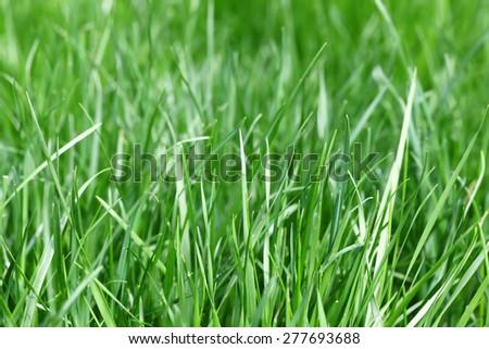 Fresh green grass closeup photo  - stock photo