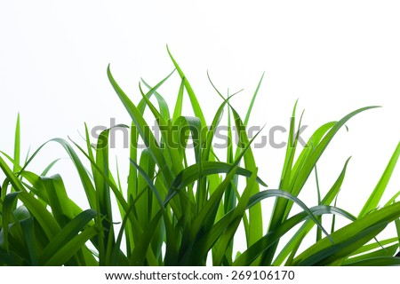 Fresh Green Grass ,Isolated on White With Copy Space - stock photo