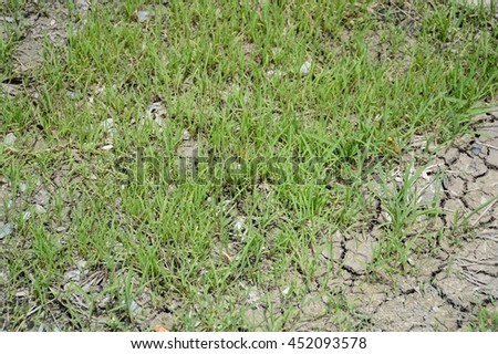 fresh green grass on dry crack soil
