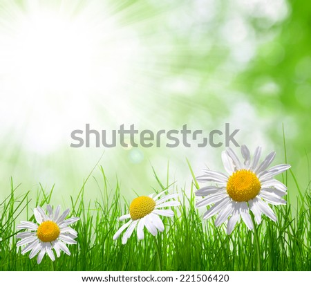 Fresh green grass with daisies  on meadow