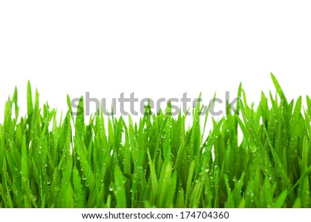 Fresh Green  Grass with Drops Dew / isolated on white with copy space - stock photo