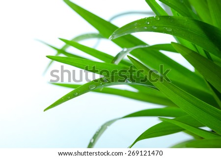 Fresh Green Grass with Drops Few ,Isolated on White With Copy Space