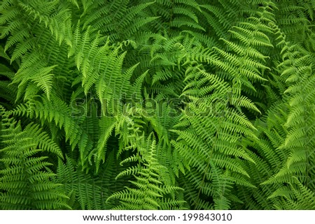 Fresh green hay-scented fern  (Dennstaedtia punctilobula) growing in forest. - stock photo