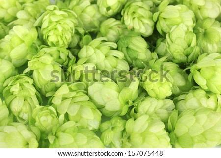 Fresh green hops, close up - stock photo