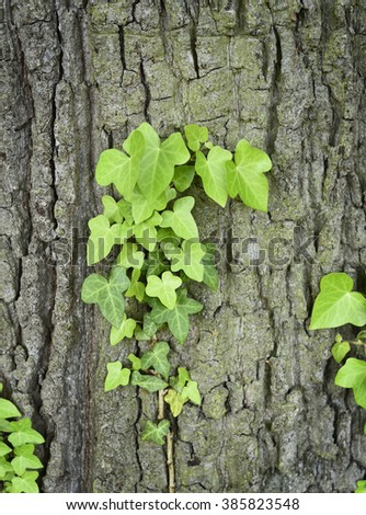Fresh, green ivy growing on an oak tree trunk. Selective focus of a tree trunk with ivy. Close-up of creeper. - stock photo