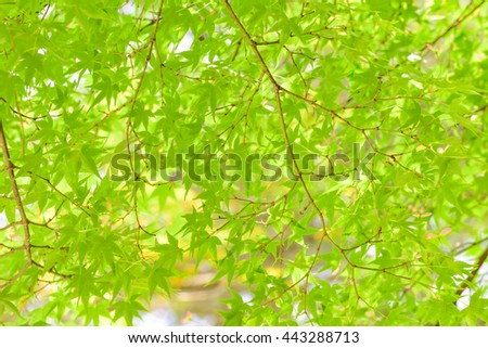 Fresh green Japanese maple