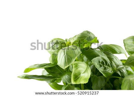 Fresh green leaf basil isolated on a white background