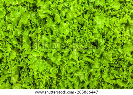 Fresh green leaf lettuce texture - top view of the leaves
