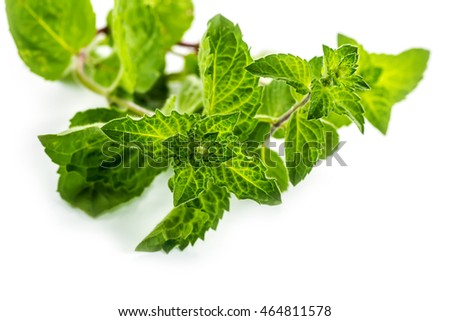 Fresh green leaf of melissa on white background.
