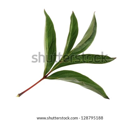 Fresh green leaf of peony close up isolated on white background