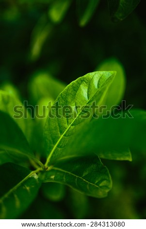 Fresh green leaves and selective focus.