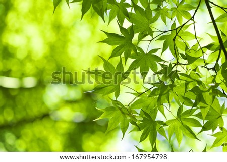 Fresh green leaves in the spring. - stock photo