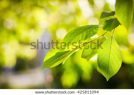 Fresh green leaves on the branch with daylight. - stock photo