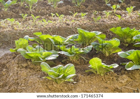 Fresh green lettuce close-up after the rain. - stock photo