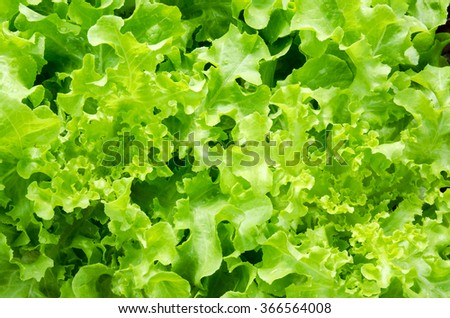 Fresh Green Lettuce in organic farm