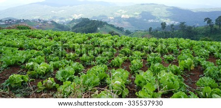fresh green lettuce on the ground in the agriculture farm