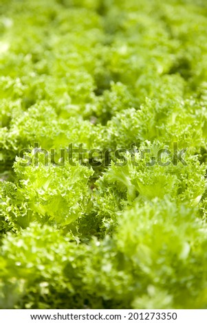 Fresh green Lettuce salad background. - stock photo