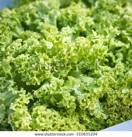 fresh green lettuce salad closeup. Shallow dof - stock photo