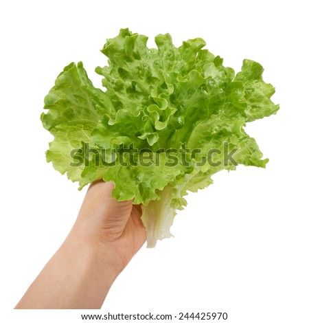 Fresh green lettuce salad in hand isolated on white background - stock photo